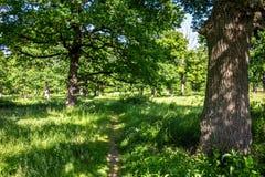 Eiken bosje met een heldere de zomerdag royalty-vrije stock afbeelding