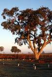 Eiken in de Wijngaard Royalty-vrije Stock Afbeelding