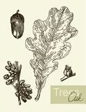 Eiken die blad, bloemen en vruchten op wit wordt geïsoleerd royalty-vrije illustratie