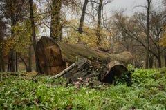 Eiken die boom in een park wordt verminderd royalty-vrije stock fotografie
