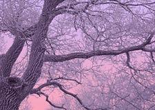 Eiken die boom met sneeuw in purpere schemering wordt behandeld Stock Afbeelding