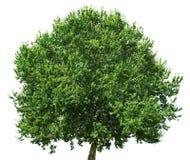 Eiken die boom op witte achtergrond wordt geïsoleerd royalty-vrije stock foto