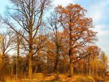 Eiken die bosje door de het plaatsen zon tegen een blauwe hemel wordt verlicht stock foto