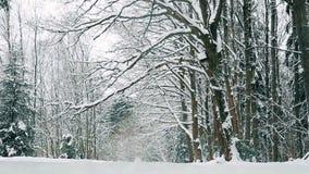 Eiken die bosje met sneeuw in December vóór Kerstmis wordt behandeld stock video