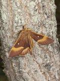 Eiken eggar (quercus Lasiocampa) Royalty-vrije Stock Foto's