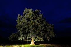 Eiken geïsoleerde boom Stock Afbeeldingen