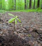 Eiken spruit in het bos Stock Afbeeldingen