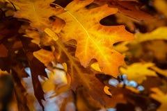 De eiken bladeren van de daling stock foto