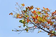 Eiken takken met mooie kleurrijke de herfstbladeren tegen een blauwe hemel stock afbeeldingen