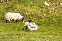 Eiland van Mull Schotland het UK lam met zwart gezicht Stock Afbeeldingen