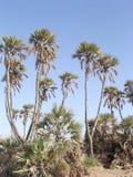 Eilat Arava Desert Oasis 2005. Date palms in Arava desert near Eilat in Israel Stock Image