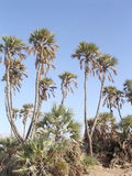 Eilat Arava pustyni oaza 2005 Obraz Stock