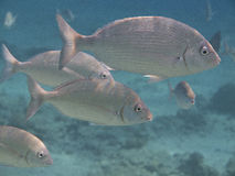 Eilat coral fish Stock Images