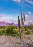 Semi-domesticated cactus in the Negev desert near Eilat, Israel Stock Photos