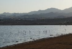 Flamingos rests in the birding park. Eilat, Israel - July 17 2018: Flamingos rests in the birding park stock photo