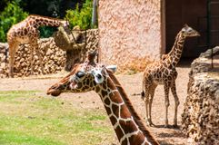 Giraffes standing at different distances in the aviary in Safari, Ramat Gan, Israel. Eilat, Israel - May 18, 2012: Giraffes standing at different distances in royalty free stock photography