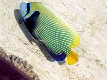 Eilat Oceanarium plattfisk 2005 Fotografering för Bildbyråer