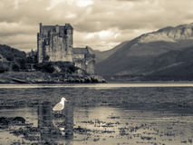 Eilean Donan Castle with Seagull. Lonesome Seagull in Foreground with Eilean Donan Castle as Backdrop Royalty Free Stock Image