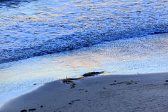 Eilwood Mesa Beach Seaweed Pacific Ocean Goleta la Californie Photographie stock