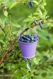 Eimer mit den Beeren, die am Geißblattbusch hängen Lizenzfreie Stockbilder
