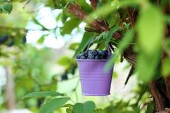Eimer mit den Beeren, die am Geißblattbusch hängen Stockbild