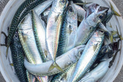 Eimer voll Makrelenfische Lizenzfreie Stockfotos