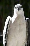 Einäugiges Eagle Stockfotos