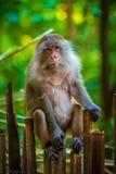 Ein älterer Affe sitzt auf einem Zaun, Thailand Stockbild