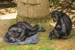 Ein älterer männlicher Schimpanse, der, eine Frau oben schaut stillsteht Lizenzfreies Stockbild
