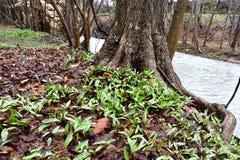 Ein Überfluss an den Forellenlilienanlagen mit den beschmutzten Blättern, die in einem Sumpfgebiet entlang einem Nebenfluss aufta stockfotos