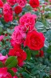 Ein üppiger Busch von roten Rosen auf einem Hintergrund der Natur Viele Blumen und Knospen auf dem Stamm stockbild