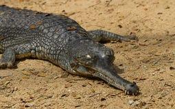 Ein aalendes Krokodil Stockbild