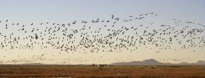 Ein abgehobener Betrag Sandhill Crane Flock Flies Above Whitewater Stockfotos