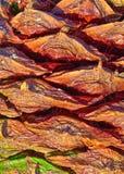 Ein Abschluss des Bunya-Kiefern-Kegels oben. stockbild