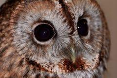 Ein Abschluss des vollen Gesichtes oben eines Waldkauzes mit großen Augen und Gesichtsscheibe Stockfotos