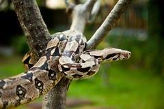 Kolumbien-Boa constrictor. stockbild