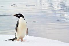 Ein Abschluss herauf Ansicht eines Pinguins, der heraus an einem Eisberg hängt Stockfotografie