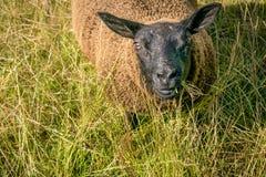 Ein Abschluss herauf Ansicht eines Schafs, das auf Gras kaut lizenzfreie stockbilder