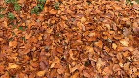 Ein Abschluss herauf Bild des Herbstlaubs stockfotografie