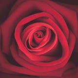 Ein Abschluss herauf Makroschuß der Rotrose, Weinleseton Stockfotografie