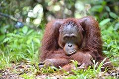 Ein Abschluss herauf Porträt des Bornean-Orang-Utan Pongo pygmaeus in der wilden Natur Zentrales Bornean-Orang-Utan Pongo pygmaeu Stockfoto