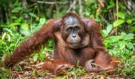 Ein Abschluss herauf Porträt des Bornean-Orang-Utans Stockbilder