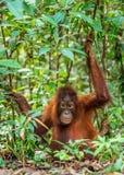 Ein Abschluss herauf Porträt des Bornean-Orang-Utans Lizenzfreie Stockfotos