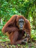 Ein Abschluss herauf Porträt des Bornean-Orang-Utans Lizenzfreies Stockbild