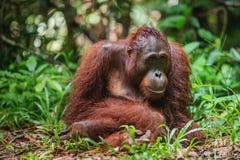 Ein Abschluss herauf Porträt des Bornean-Orang-Utans Lizenzfreies Stockfoto
