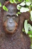 Ein Abschluss herauf Porträt des Bornean-Orang-Utans Stockfoto