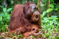 Ein Abschluss herauf Porträt des Bornean-Orang-Utans mit offenem Mund Lizenzfreie Stockfotografie