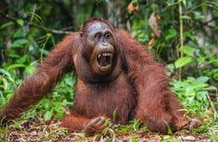 Ein Abschluss herauf Porträt des Bornean-Orang-Utans mit offenem Mund Stockfoto