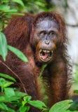 Ein Abschluss herauf Porträt des Bornean-Orang-Utans mit offenem Mund Lizenzfreies Stockfoto
