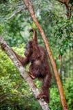 Ein Abschluss herauf Porträt des Bornean-Orang-Utans u. des x28; Pongo pygmaeus& x29; unter Regen Lizenzfreie Stockfotos